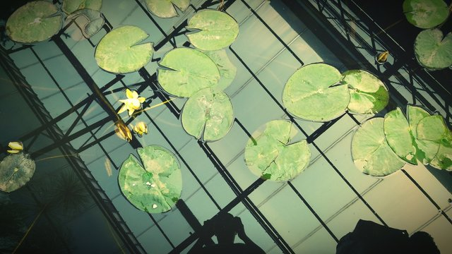 Lily Pads In Water
