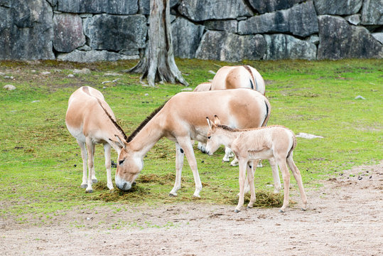 The onager (Equus hemionus), also known as hemione or Asiatic wild ass,[3] is a species of the family Equidae (horse family) native to Asia.