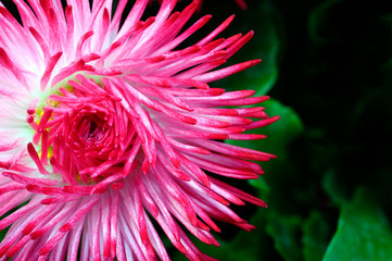 Fototapete - Close up of pink daisy flower