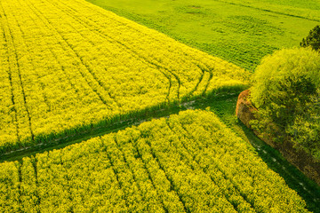 Wall Murals Yellow Aerial view of blooming Rapeseed field Nature Farmland