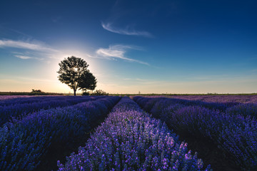 Tree in a lavender flower in the field.