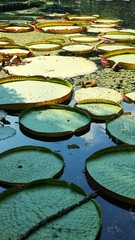 Stores photo Nénuphars Water Lilies Floating On Lake