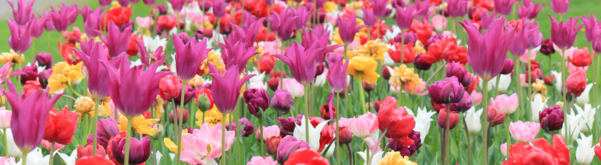 A field of colorful tulips in a park.