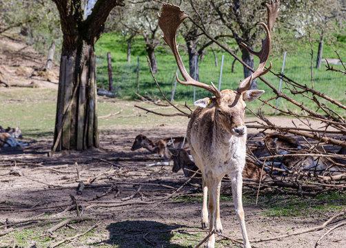 Sarny i jelenie w naturalnym srodowisku.  Dzikie zwierzeta z bliska.  Dzika przyroda z bliska. MLode i dorosle jeleni i sarny. Wypoczynek zwierzat. Rogi doroslego samca.