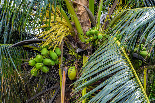 Close-up view of coconut palm tree (Cocos nucifera) with unripe coconut cluster.
