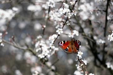 Obraz Motyl wsród kwitnących kwiatów. Rusałka pawik, Aglais io. - fototapety do salonu