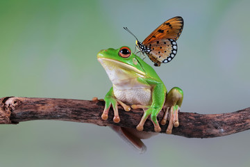Wall Mural - White lipped tree frog on branch with butterfly