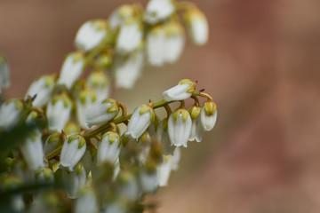 Wiosenne białe kwiaty w kształcie dzwonków łagodnie opadające