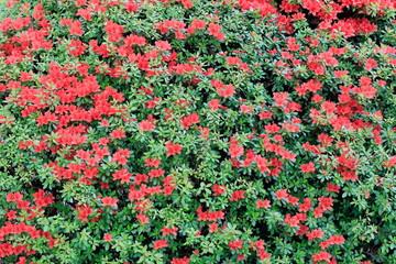 Foto auf Leinwand Olivgrun 철쭉꽃이 보이는 아름다운 봄풍경