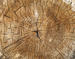 Tree rings in the section. The texture of the rings of trees