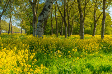Garden Poster Culture Trees in a green field with grass and yellow wildflowers in sunlight in spring