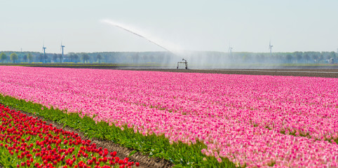 Fototapeten Rosa Lovey Tulips in an agricultural field below a blue sky in sunlight in spring,