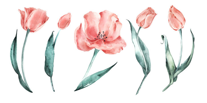 Watercolor tulips set. Salmon Tulips. Coral delicate flowers.