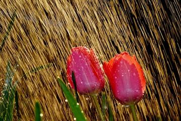 Garden Poster Tulip Tulpe im Regen