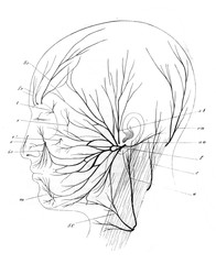 The nerves of human head in the old book the Human Anatomy Basics, by A. Pansha, 1887, St. Petersburg
