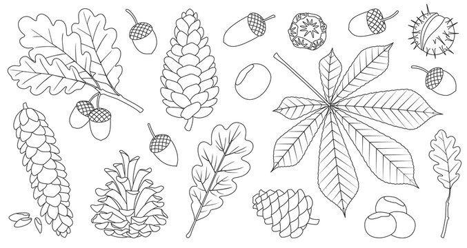 Acorn of oak outline vector set icon. Vector illustration autumn leaf and nut on white background.Isolated outline icon acorn and cone.