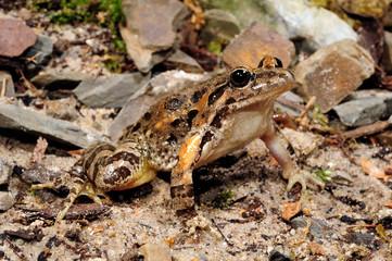 Garden Poster Frog Mediterranean painted frog / Gemalter Scheibenzüngler (Discoglossus pictus) - Spain / Spanien