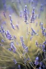 Garden Poster Lavender lavande de provence