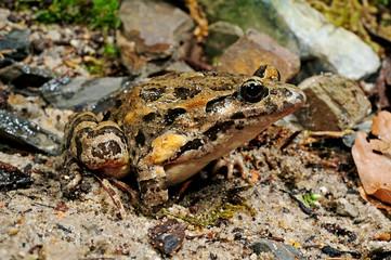 Garden Poster Frog Gemalter Scheibenzüngler (Discoglossus pictus) - Spanien / Mediterranean painted frog - Spain
