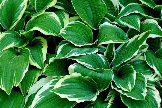 Full Frame Shot Of Hosta Plant