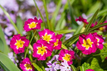Wall Mural - Blooming violet flowers