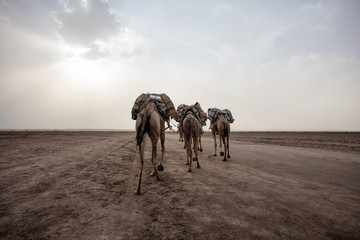 Rear View Of Camels Carrying Luggage On Footpath