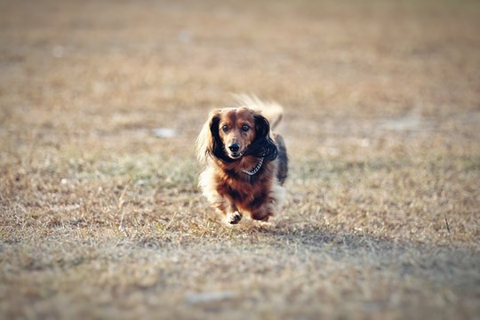 Long Haired Dachshund Running In Park