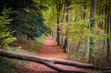 Wall Murals Road in forest Beautiful forest path with autumn leaves in Surrey , England UK