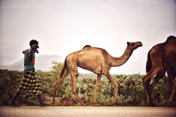 Side View Of Man Walking Behind Camels On Field