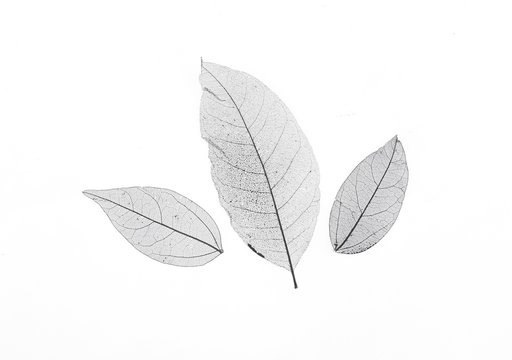 black transparent leaves isolated on white background