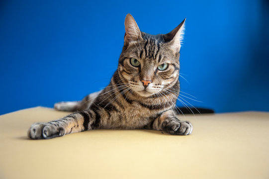 Studio shot portrait of a cat on a blue and yellow background