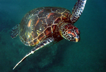Close-up Of Sea Turtle Swimming In Ocean