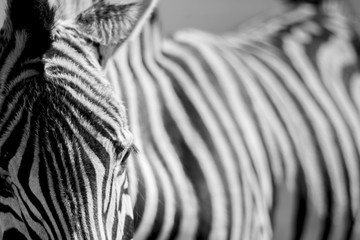 Fototapeta Close-up Of Zebra