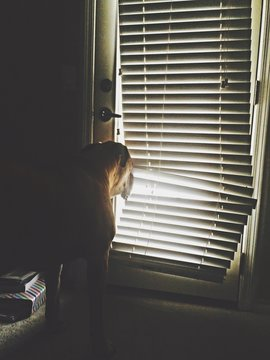 Dog Looking Through Window Blinds At Home