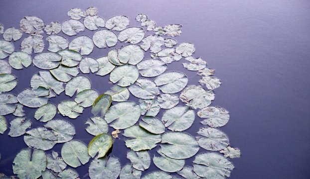 Close-up Of Lily Pads In Lake