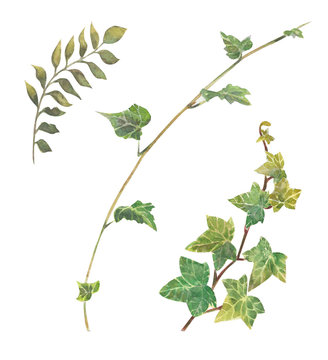 wild ivy watercolor