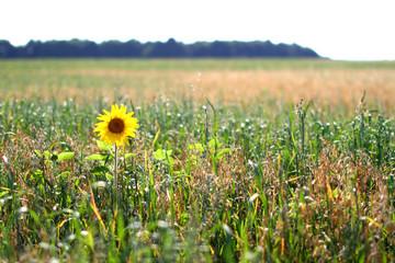 Poster de jardin Olive Lonely sunflower in the field. Sunflower blooming. Sunflower background. Sunflower field landscape