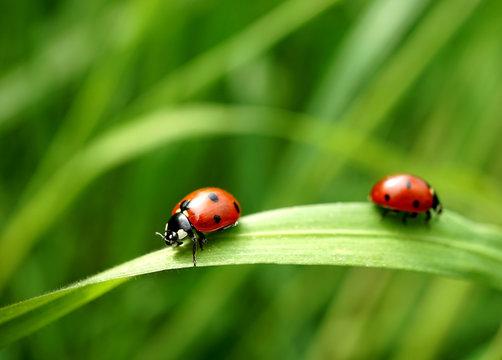Zwei Marienkäfer auf einen Grashalm