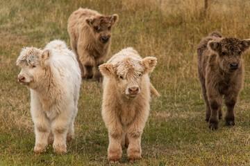Photo sur Plexiglas Vache highland cow