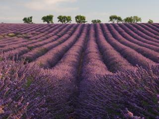 Poster Crimson lavender field provence france