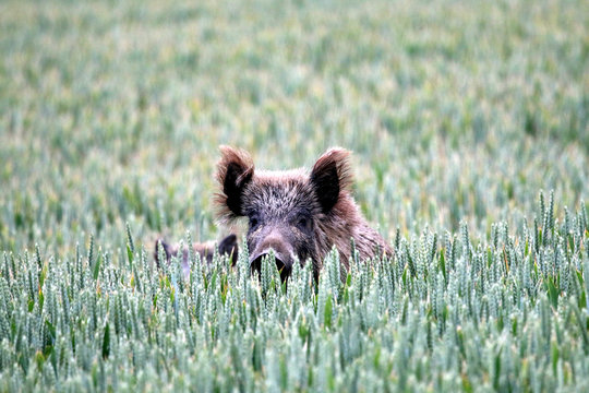 Wild Boar Lying Amidst Plants Growing On Field