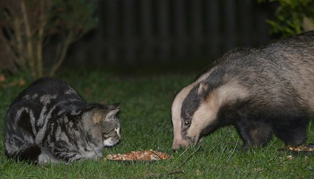 Close-up Of Cat And Badger