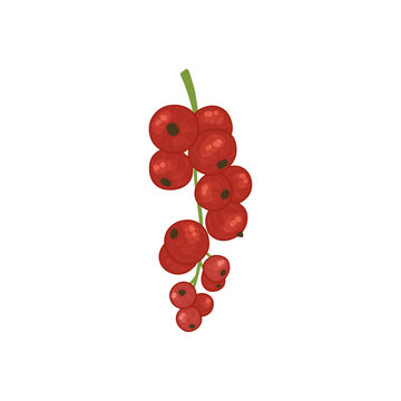 Vector illustration with red currant berries. Bright shrub fruits in watercolor style for the design of tea, juice, jam, wine, lemonade, sweets and eco - products. Isolated on a white background.