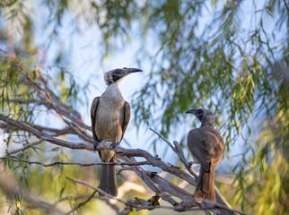 Pair of helmeted friarbirds, Philemon buceroides, sitting on tree branch, Darwin, Northern Territory, Australia