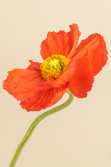 Papiers peints Fleuriste Close up of red poppy flower on beige background