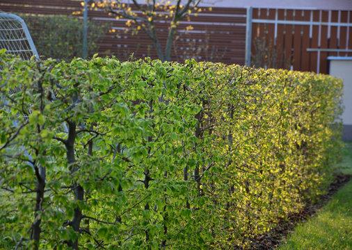 hornbeam hedge detail against the sun fresh spring leaves white soccer goal in the garden Carpinus betulus