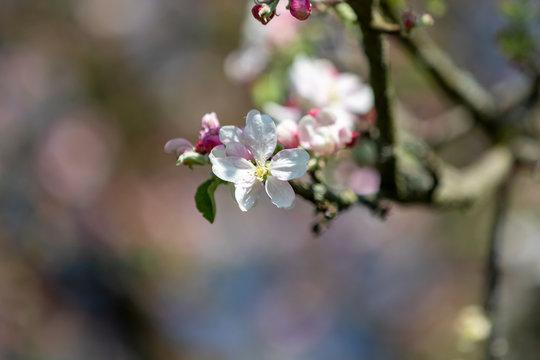 Apfelbaumblüte vor Blütenbokeh