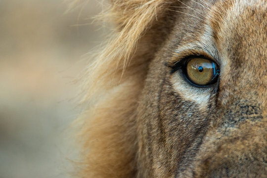 Cropped Image Of Lion