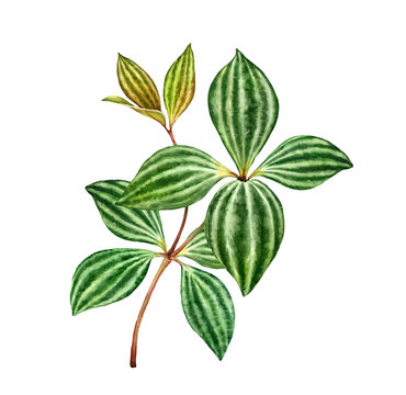 Watercolor peperomia branch. Exotic green plant isolated on white. Green Leaves with stripes. Hand painted detailed artwork. Realistic botanical illustration.