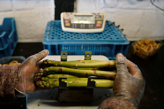 Asparagus farmers struggle to find workers due to the coronavirus lockdown, in Rosoux